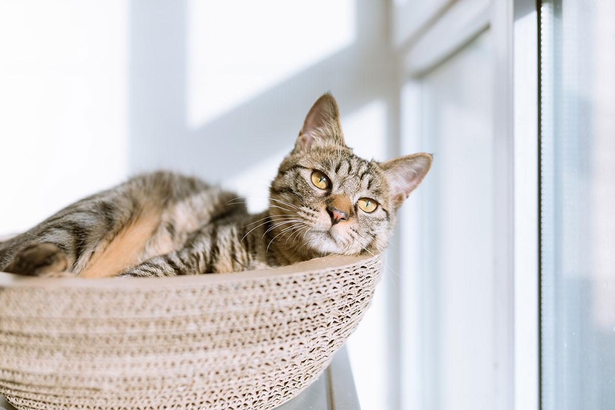How Do Indoor Cats Get Fleas?