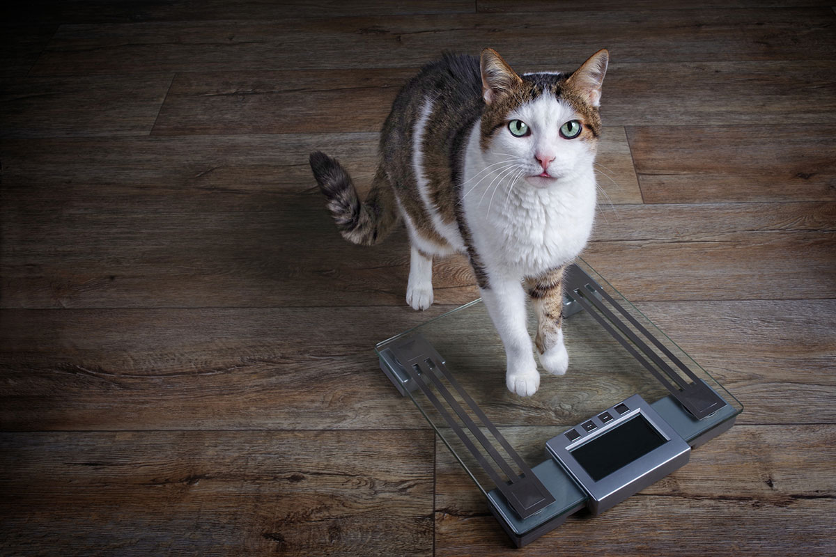 How Much Should Your Cat Weigh?